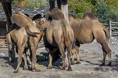 Bactrische kamelen Royalty-vrije Stock Foto's