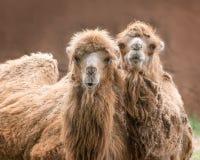 Bactrische kamelen Royalty-vrije Stock Afbeeldingen