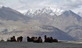 Bactrische kamelen in Vallei Nubra stock foto