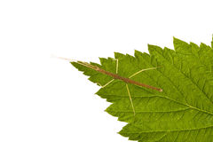 baculum extradentatum insekta kij Zdjęcie Royalty Free