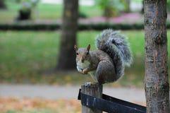 baczna wiewiórka Obrazy Stock