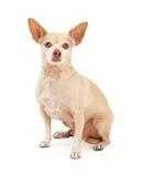 Baczny chihuahua psa obsiadanie Fotografia Royalty Free