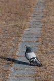 Baczny gołębi patrzeć lewica Fotografia Royalty Free