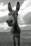 Baczny muł Fotografia Stock