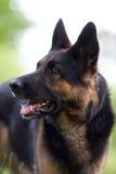 Baczny niemiecki pasterski pies w szkoleniu obraz stock