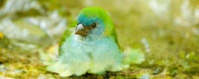 Blauer hauptsächlicher Vogel, der Bad nimmt Stockfoto