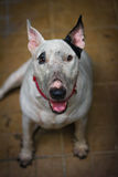 Bad Bull terrier with dirty face Stock Photo