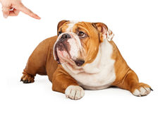 Bad Bulldog Being Punished Stock Photo