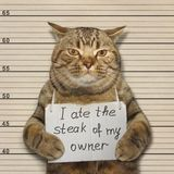 Bad cat ate steak. The bad cat stole and ate the steak of his owner royalty free stock images