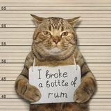 Bad cat broke a bottle of rum Stock Images