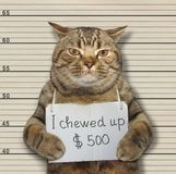 Bad cat chewed up 500 dollars royalty free stock photography