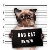 Bad cat. Isolated on white Royalty Free Stock Image