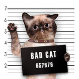 Bad cat. Royalty Free Stock Images