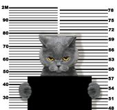 Bad cat at the police station. Photo on white. Background Royalty Free Stock Photos