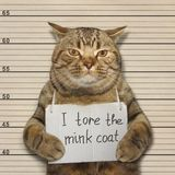 Bad cat tore mink coat. The bad tore the mink coat of his owner royalty free stock photo