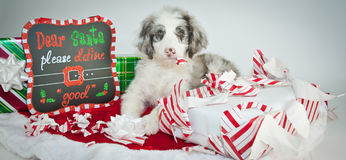 Bad Christmas Puppy! Royalty Free Stock Images