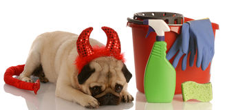 Bad dog. Pug dressed as devil laying beside cleaning supplies Royalty Free Stock Photos