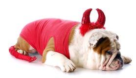 Bad dog. English bulldog with devilish expression in devil costume with reflection on white background Royalty Free Stock Photos