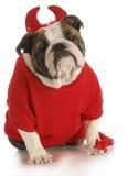 Bad dog. English bulldog dressed up like a devil on white background Royalty Free Stock Photography