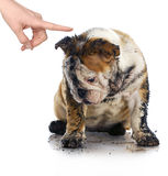 Bad dog. Dirty sad english bulldog being scolded by wagging finger Stock Image