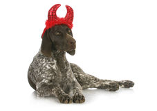 Bad dog. German short haired pointer with devil horns Stock Photography