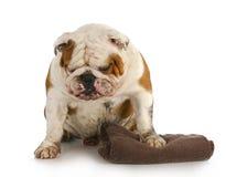 Bad dog. Muddy dirty english bulldog waiting to get a bath Stock Photo