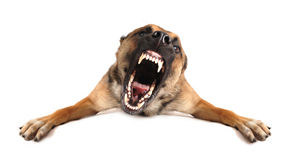 Bad dog. Very angry purebred belgian shepherd malinois, focus on the eyes of dog stock photography