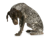 Bad dog. Guilty looking german short haired pointer sitting with reflection on white background Royalty Free Stock Photography