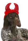 Bad dog. German short haired pointer wearing devil ears with reflection on white background Royalty Free Stock Photos