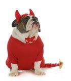 Bad dog. English bulldog dressed up like a devil looking up  on white background Stock Photography