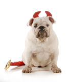 Bad dog. Dirty dog - english bulldog wearing devil ears and tail isolated on white background - 6 months old Royalty Free Stock Photo