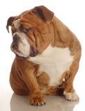 Bad dog. Red brindle english bulldog with a bad attitude Royalty Free Stock Photo
