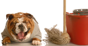 Bad dog. Adorable bulldog sitting beside mop and bucket laughing - concept of dog not being house trained Royalty Free Stock Photos