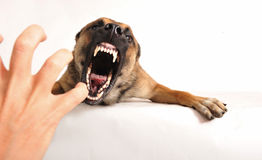 Bad dog. Very angry purebred belgian shepherd malinois, focus on the eyes of dog Stock Photo