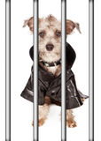Bad Dog Behind Bars. Funny terrier bad dog with mohawk hair wearing leather jacked and spiked collar behind bars Stock Photo