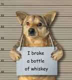 Bad dog broke a bottle of whiskey. The bad dog broke a bottle of whiskey. He arrested by the police for this crime and sent to prison. Lineup background stock photography