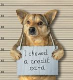 Bad dog chewed a credit card 2. The bad dog chewed a credit card. He arrested by the police for this crime and sent to prison. Lineup background royalty free stock photos