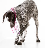 Bad dog. Naughty german shorthaired pointer tugging on beads isolated on white background Stock Image