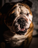 Bad dog. Portrait of young english bulldog Royalty Free Stock Image