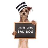 Bad Dog Prisoner. Funny mugshot image of a bad dog wearing a prisoner hat holding a booking sign Stock Photo