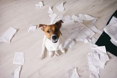 Bad dog shred important documents. Dog in torn pieces of papers royalty free stock photo
