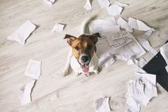 Bad Dog Sitting In Torn Pieces of Documents on the Floor and looking up on his owner stock images