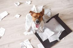 Bad dog sitting on the torn pieces of important documents stock photos