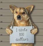 Bad dog stole 100 dollars royalty free stock photography