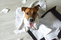 Bad dog on the torn pieces of documents. Dog sitting on the torn pieces of important documents. Naughty bad pets at home. Bad puppy waiting for punishment and royalty free stock photos