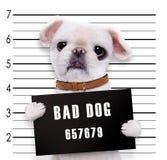 Bad dog. On white Stock Photography