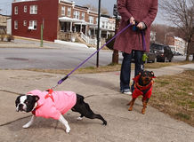 Bad Dogs On Leashes Stock Photo