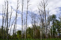 Bad ecology. The dried tree trunks stand upright. Wetlands Stock Photos