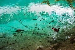 Bad för fisk och för lös and i sjön i träna i det kristallklara turkosvattnet Plitvice nationalpark, Kroatien royaltyfria bilder