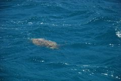Bad för havssköldpadda i medelhavet nära den turkiska staden av Kemer royaltyfri foto